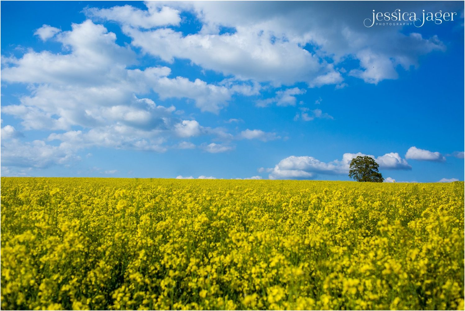 Rapeseed field under blue sky